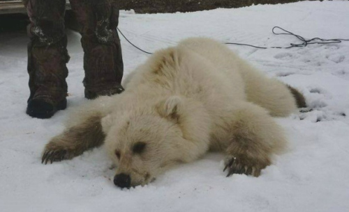 amature-polar-bear-photos-blonda-girls-having-sex