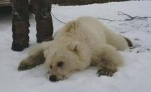 grizzly-polar-bear-hybrid_arviat-2016-didji-ishalook