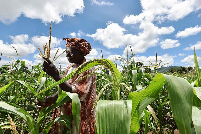 A farmer in Malawi checks her maize crop that is struggling as a result of the worst drought in three decades. CREDIT Neil Palmer (CIAT)