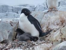 adelie-penguin