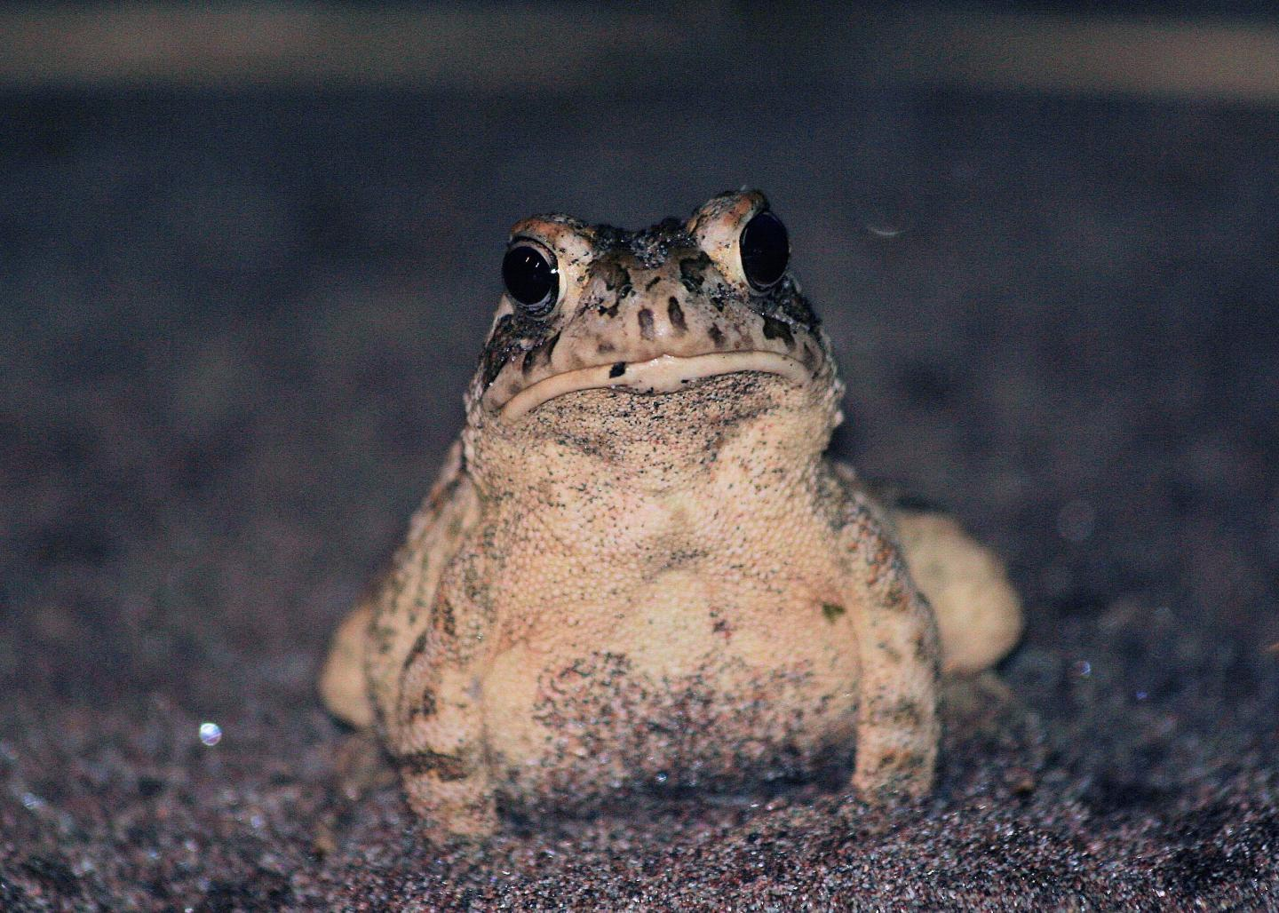 What hibernating toads tell us about climate. CREDIT David Green, McGill University