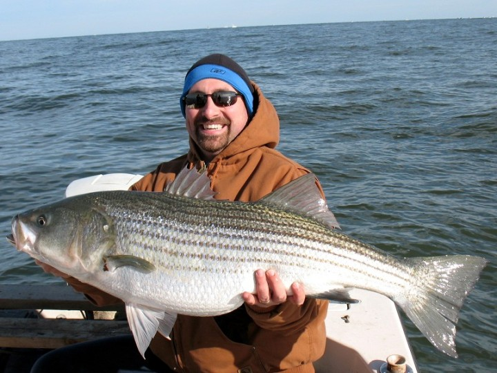 A large striped bass caught at the mouth of the Chesapeake Bay. Image: Wikimedia