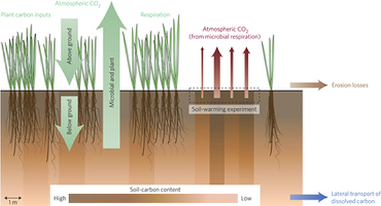 Soil C stocks are the net result of outputs and inputs of plant C, but most warming research focuses only on outputs, making stock responses highly uncertain. Warming-induced outputs (red arrows) in the schematic are represented as CO2 fluxes, reflecting the assumption in ESMs that the land-C–climate feedback occurs through warming stimulating the activities of soil microorganisms that decompose.