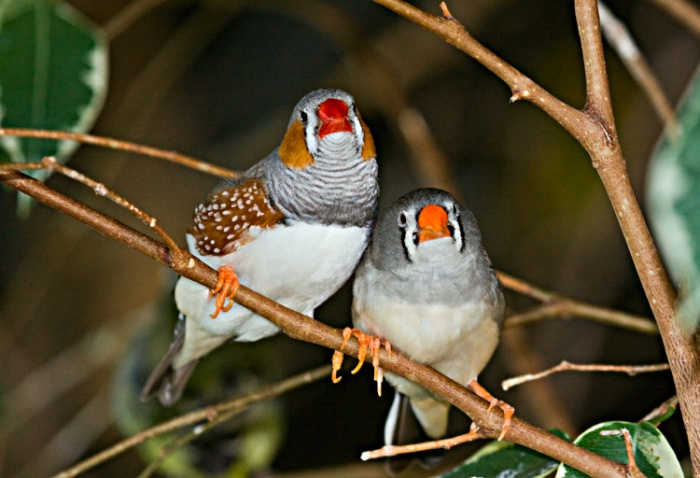 A pair of Zebra finches at Bird Kingdom, Niagara Falls, Ontario, Canada.
