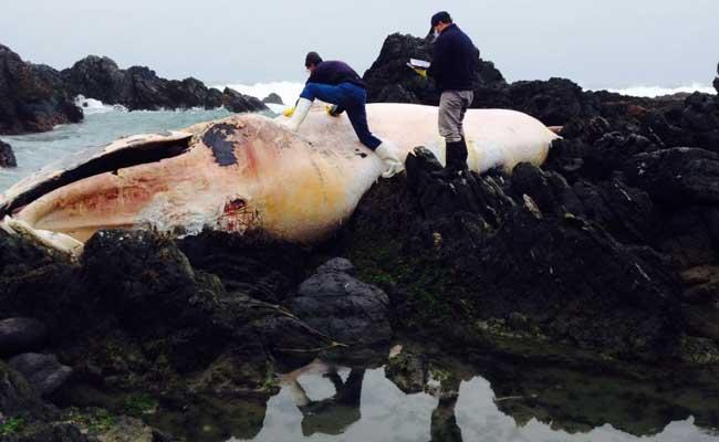 A dead whale on the seashore of the Coquimbo region. (AFP PHOTO / SERNAPESCA)
