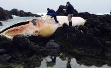 A dead whale on the seashore of the Coquimbo region. (AFP PHOTO / SERNAPESCA)