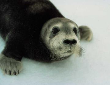 Bearded Seal pup (Erignathus barbatus) Photo: NOAA