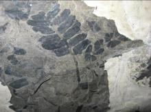 Scientists used fossilized plants, like this seed fern, to reconstruct the ancient atmospheric CO2 record from more than 300 million years ago. CREDIT William DiMichele/Smithsonian Institution