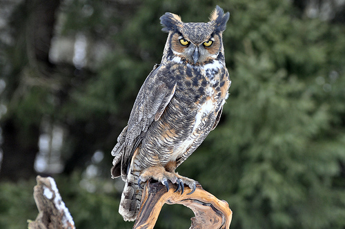 The Great Horned Owl- B. virginianus