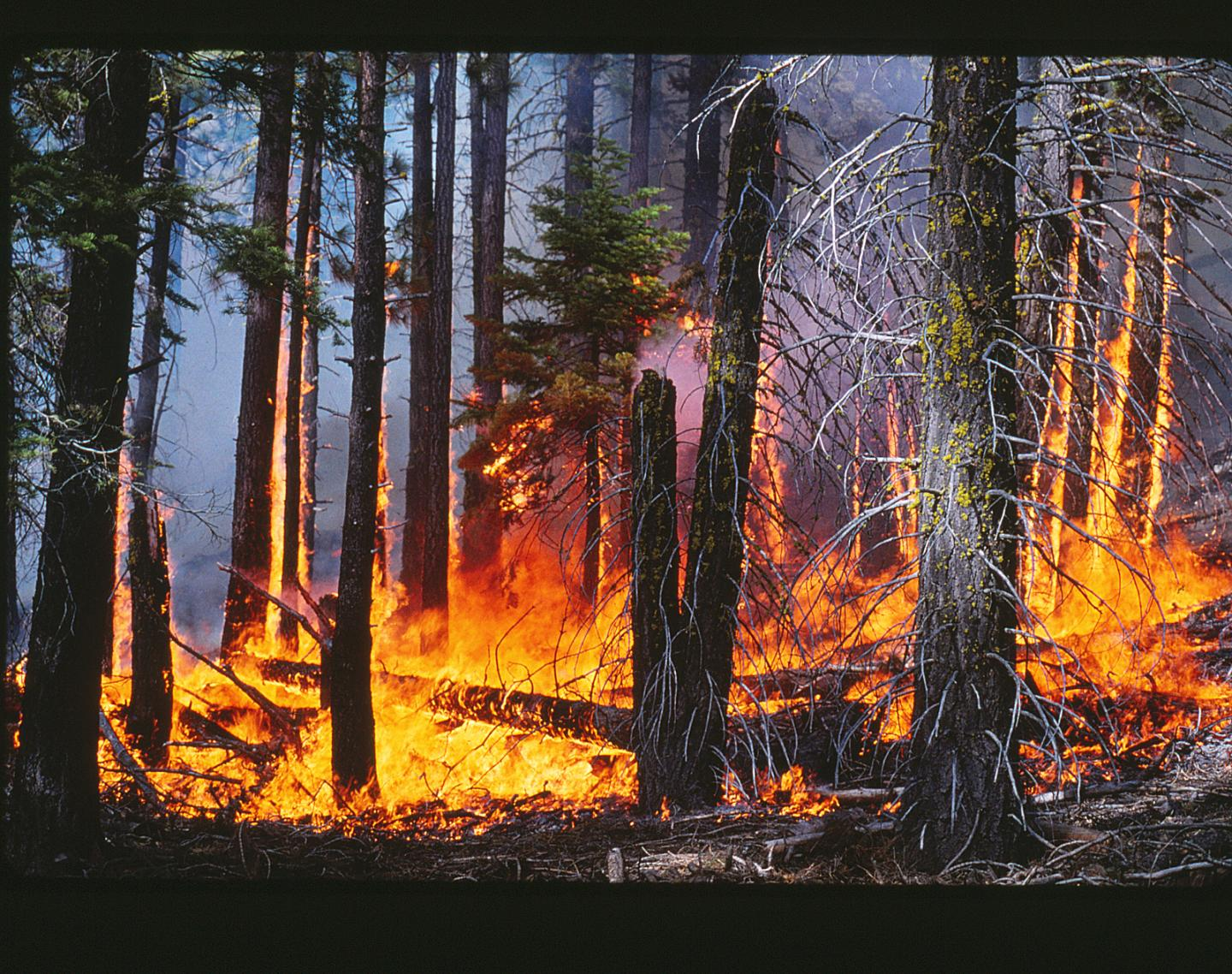 The low-to-moderate intensity surface fire in this prescribed burn will lower the fuel load in this forest in the Lake Tahoe Basin. CREDIT Alan H. Taylor