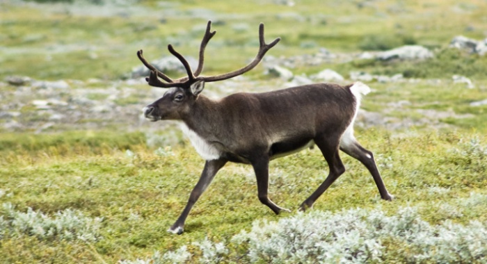 Strolling reindeer (Rangifer tarandus) in the Kebnekaise valley, Lappland, Sweden.