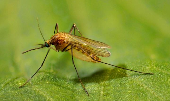 Culex pipiens, the northern house mosquito, is the most common mosquito in urban and suburban areas in North America. Mosquito populations have increased as much as ten-fold over the past five decades in New York, New Jersey, and California. CREDIT Ary Faraji