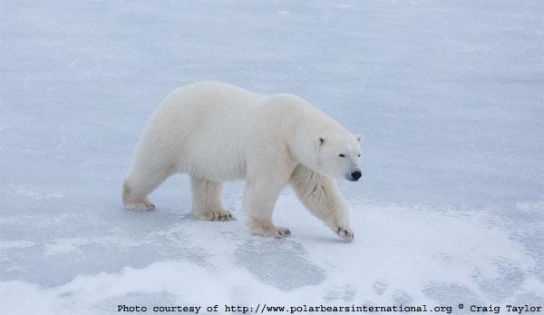 polar_bear death of a climate icon the polar bear's demise as a useful