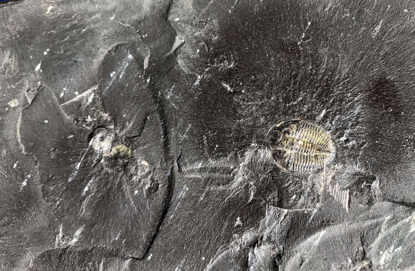study fossil fuel formation enabled life as we know it to evolve this black shale formed 450 million years ago contains fossils of trilobites and other