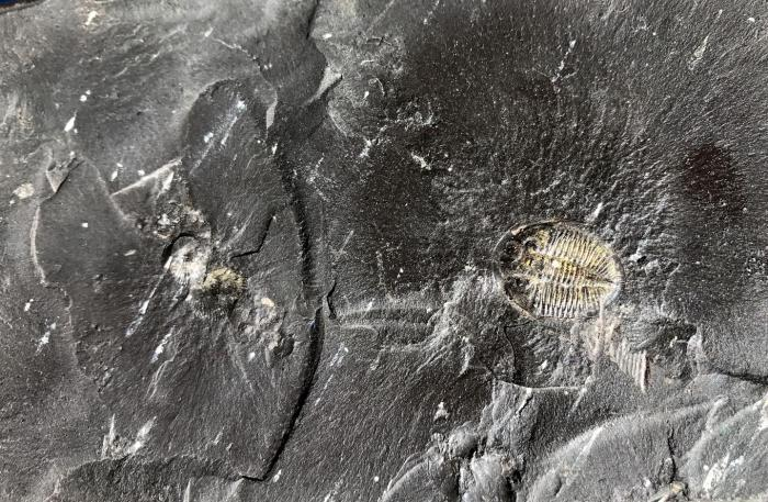 This black shale, formed 450 million years ago, contains fossils of trilobites and other organic material that, by removing carbon from Earth's surface, helped support increases in oxygen in the atmosphere. CREDIT Jon Husson and Shanan Peters/UW-Madison