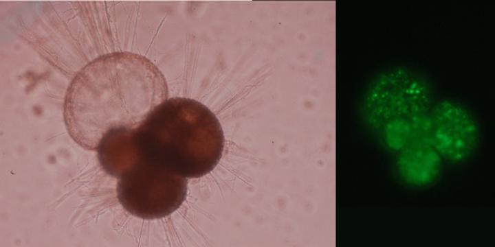 Microscopic pictures of individual foraminifers. Left: A foraminifer with a shell containing four chambers of which one is empty. Also note the spines. Right: Picture of the interior of a foraminifer. The green colour is caused by seawater with an indicator showing that the acidity has changed. The actual size of the foraminifer is about 0.25 millimeter. CREDIT Dr. Lennart de Nooijer (NIOZ)