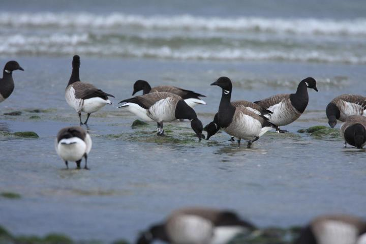 Light-bellied Brent geese are shown. CREDIT Kendrew Colhoun