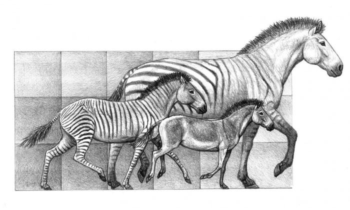 Three species of Hipparion, that lived in the Iberian peninsula between 9 million years and 5 million years ago CREDIT MAURICIO ANTÓN