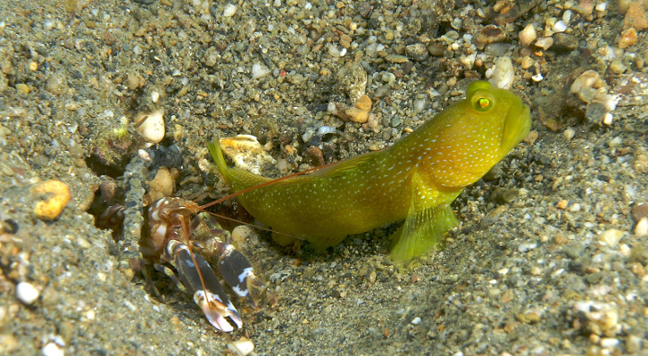 Alpheus bellulus (Snapping shrimp) with partner Cryptocentrus cinctus (Yellow shrimp goby). A symbiotic relationship where the blind shrimp digs the protective burrow and the keen eyed goby serves as lookout.