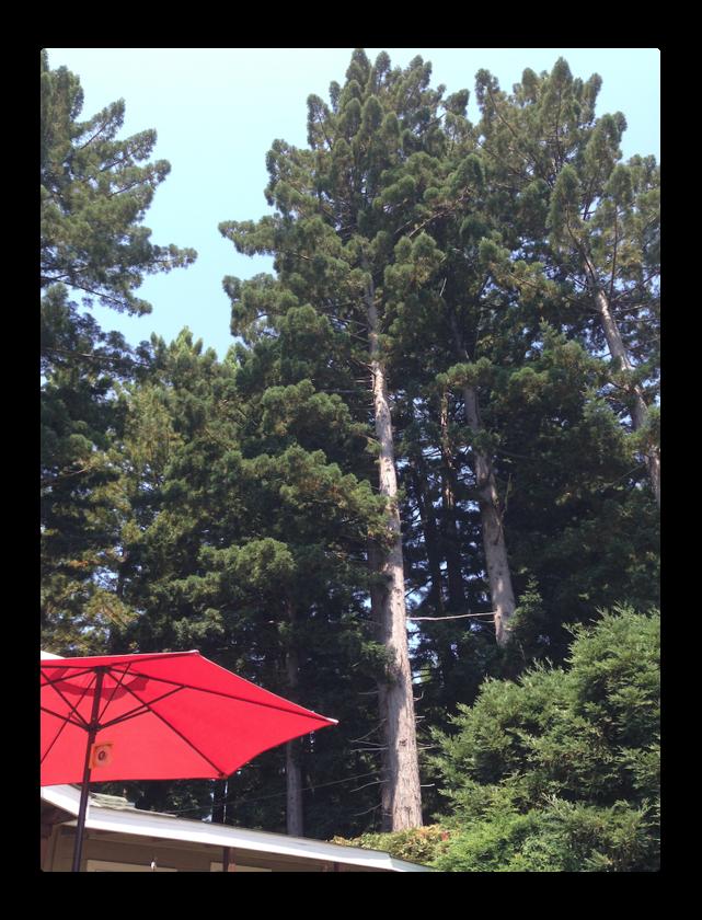 redwoods plus umbrella