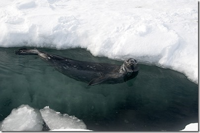 weddell-seal-400