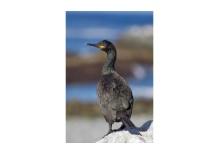 Scottish Shag (Phalacrocorax aristotelis)