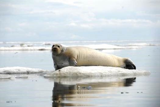 listing-the-bearded-seal-as--a-disturbing-victory-for-untestable-hypotheses-and-flawed-models