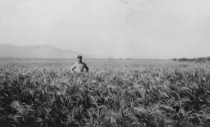 """A crop of irrigated barley. Barley growing on the Camas Division."""