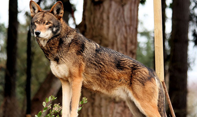 red_wolf