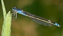 Female common bluetail damselfly. Taken in Swifts Creek, Victoria